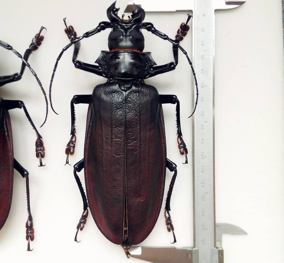 сам самые большие жуки мира картинки есть
